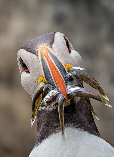 Puffin - Photo Credit: Jim Pickrells